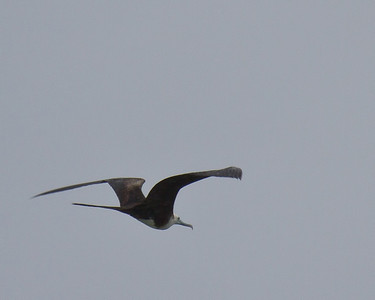 Female Great Frigatebird