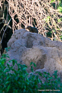 Dwarf Mongoose, Manyara Nat. Pk. Tanzania, 1/01/09