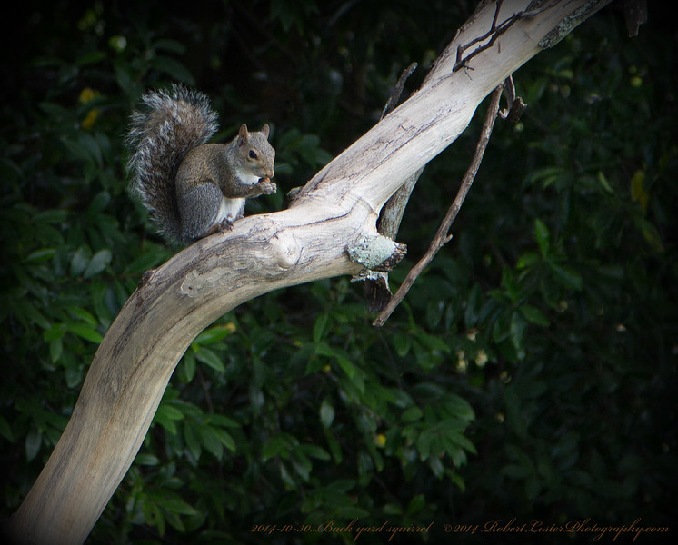 Back yard squirrel