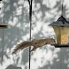Squirrel    (am hdr1)   2018-02-26-2260023