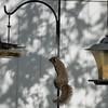 Squirrel    (am hdr1)   2018-02-26-2260022
