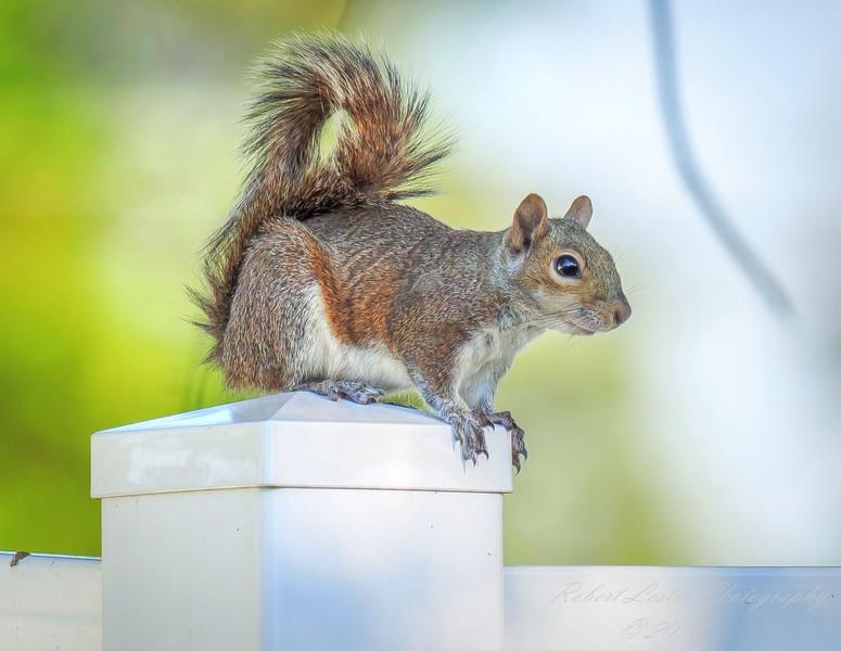 Squirrel,Clearwater,fl (am workfl,)   2018-03-26-3240011_Enhancer