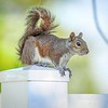 Squirrel,Clearwater,fl (am workfl,)   2018-03-26-3240011_Enhancer