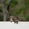 Squirrel    (am hdr1)   2018-02-26-2260020