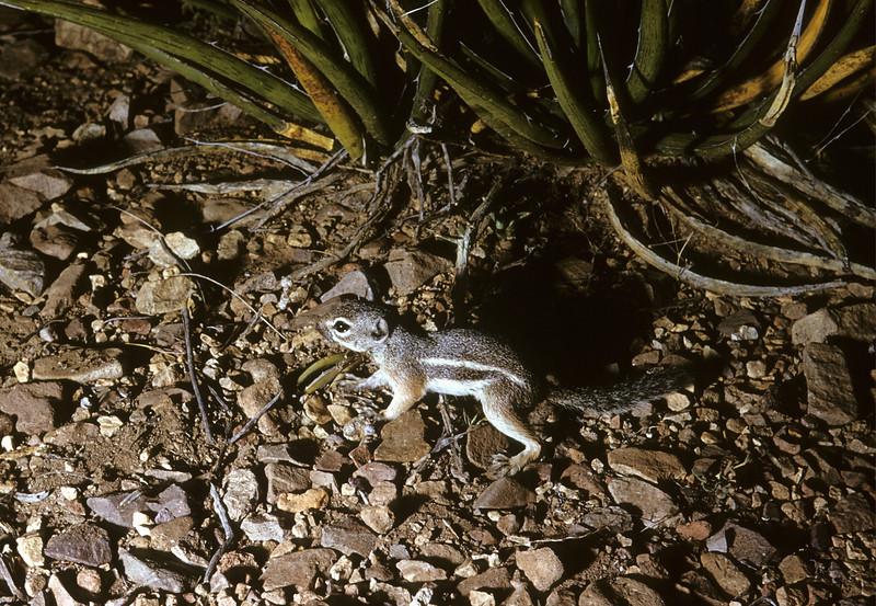 Texas Antelope Squirrel (<i>Ammospermophilus interpres</i>) Big Bend National Park, TX, 1958