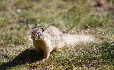 Greywolf ground squirrel (or gopher?). Panorama, BC. July 2012