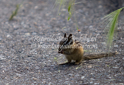 Chipmunk at Panorama. July 2012