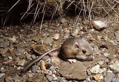 Merriam's Kangaroo Rat (Dipodomys merriami) Big Bend National Park, TX, 1958