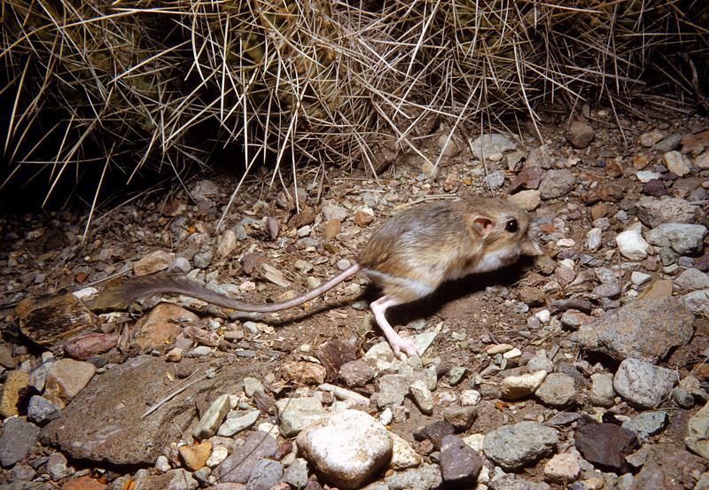 Merriam's Kangaroo Rat (<i>Dipodomys merriami</i>) Big Bend National Park, TX, 1959