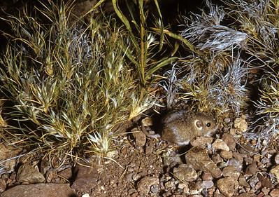 Merriam's Pocket Mouse (Perognathus merriami) Big Bend National Park, TX, 1958