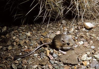 Merriam's Kangaroo Rat (Dipodomys merriami) Big Bend National Park, TX, 1959