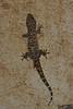 Türgi majageko, Mediterranean Gecko (in Greece)