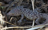 Mediterranean House Gecko, Hemidactylus turcicus