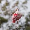 Roseate Spoonbills Florida Jan 2018-7939