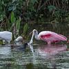 Roseate Spoonbills Florida Jan 2018-8018