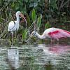 Roseate Spoonbills Florida Jan 2018-8012