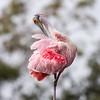 Roseate Spoonbills Florida Jan 2018-7941