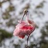 Roseate Spoonbills Florida Jan 2018-7942