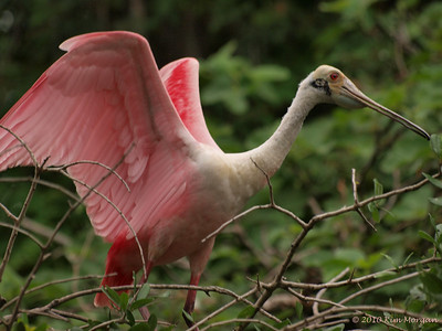 A Roseate Spoonbill stretches at the Alligator Farm.