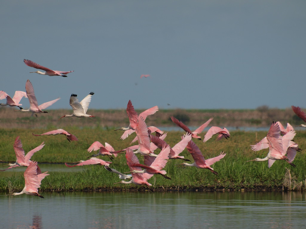 Numerous Roseate Spoonbills took flight in attempts to avoid the photographers.