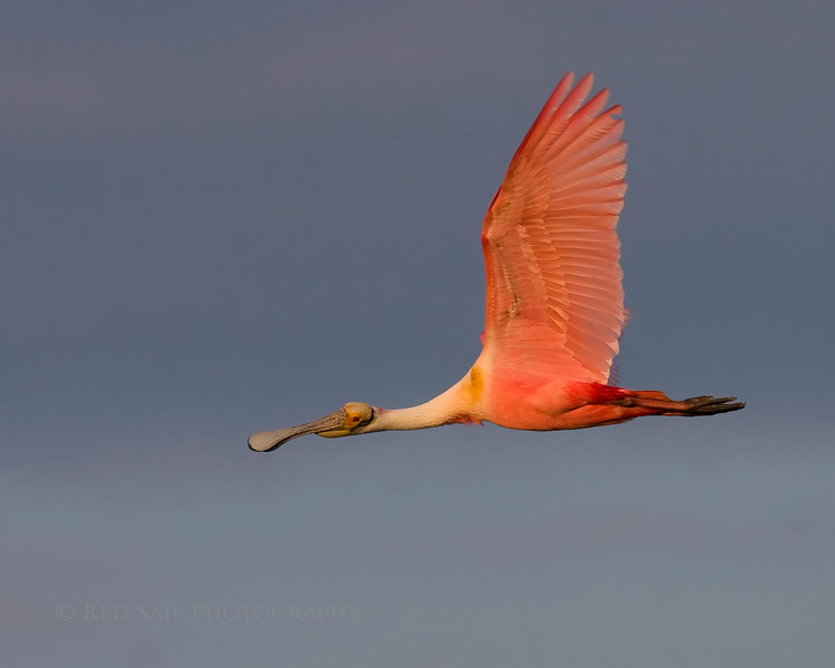 Roseate Spoonbill in flight. Image taken at Smith Oaks, High Island Texas.
