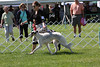 08/8 Midwest Borzoi Specialty weekend. Photo by Bill Leichtnam.