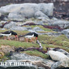 Eurasian oystercatcher
