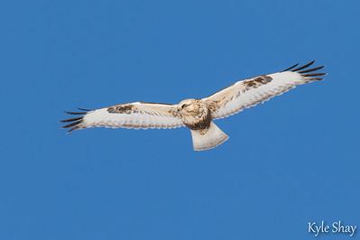 roughed legged hawk Eagle Hartlen point