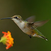 Ruby-throated Hummingbird, female.