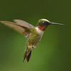 Ruby-throated Hummingbird, male.  He is not a blonde, just dusted with pollen.