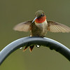 Ruby-throated Hummingbird, male.