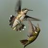 Ruby-throated Hummingbirds