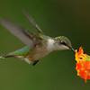 Ruby-throated Hummingbird, immature male.