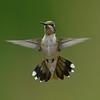 Ruby-throated Hummingbird, immature male.