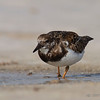 Ruddy Turnstone (Arenaria interpres) - Bal Harbour, Florida