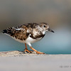 Ruddy Turnstone - Bal Harbour, Florida