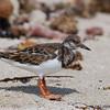 Ruddy Turnstone (Arenaria interpres) - Bal Harbour, Florida