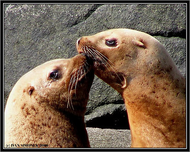 """A KISS"", Steller sealions, Liesnoi island, Alaska, USA-----""POLIBEK"", lachtani usati, ostrov Liesnoi, Aljaska, USA."