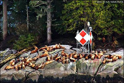"""""""MARKER"""",Steller sealions,Alaska,USA."""