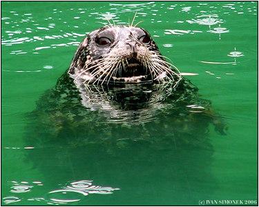"""""""FACE TO FACE"""", a harbor seal, Le Conte Bay, Alaska, USA.-----""""TVARI V TVAR"""", tulen, Le Conte fjord,Aljaska, USA."""