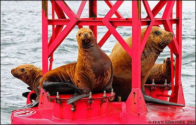 """A FAVORITE HANGOUT"",Steller sealions,near Petersburg,Alaska,USA."