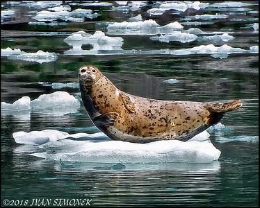 """""""SEALS   ROCK""""."""