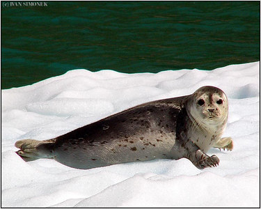 """A COOL SEAL"", LeConte Bay, Alaska, USA."