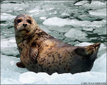 """ICE LOVER"",a Harbor seal,LeConte Bay,Alaska,USA."