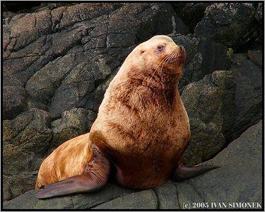 """MR. BIG"", a steller sea lion, Liesnoi island, Alaska, USA.-----""PAN VELKY"", lvoun usaty, ostrov Liesnoi, Aljaska, USA."