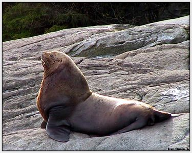 """STELLER SEALION MALE"", Liesnoi island, Alaska,USA, April 18,04.-----""STELLERUV MORSKY LVOUN"", ostrov Liesnoi, Aljaska, USA,18.dubna,04."