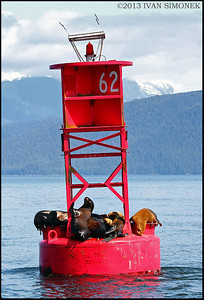 """OCCUPIED"" by Steller`s sealions,near Petersburg,Alaska,USA."