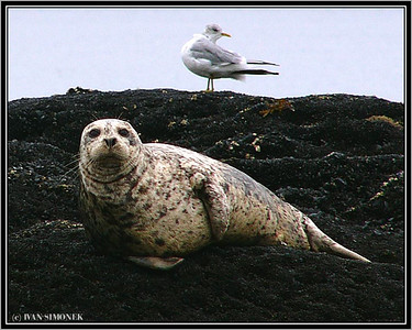 """TWO POSERS"", a harbor seal and a gull, Alaska, USA."