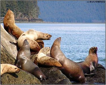 """""""RELAXATION"""", Steller sea lions, Liesnoi Island, Alaska, USA."""