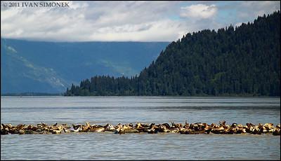 """SEALS"",Stikine river delta,Alaska,USA."